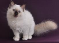 ChillBill Sweet Katicat