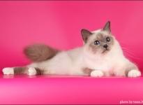 IC RU Bonbon Azur Her Bliss Majesty SBIa 2012