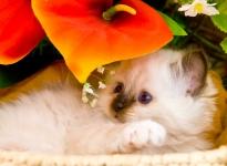 Bagheera Alsiade's Fleur
