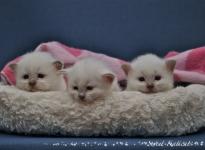 Sweet Katicat C pesakond