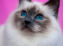 FI Snow Birman Forever Yours SBIa 2013